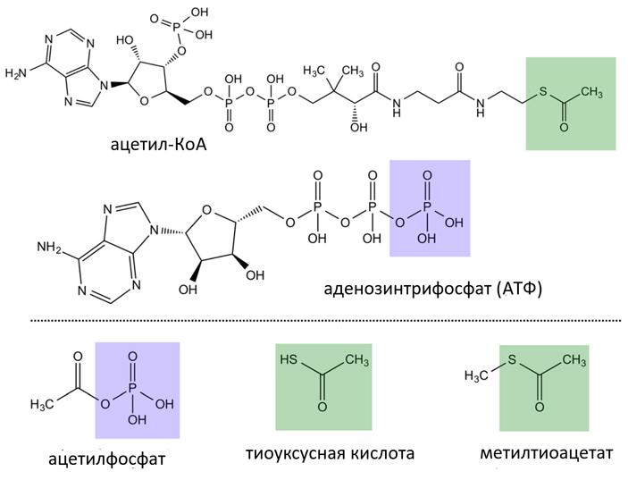 Рис. 1. Химические соединения, упоминаемые встатье (плюс метилтиоацетат, окотором раньше думали, что он превращается вацетилфосфат, но это не подтвердилось). Всоответствии справилами упрощенного начертания органических формул, каждый уголок вкаждой формуле соответствует атому углерода(C)