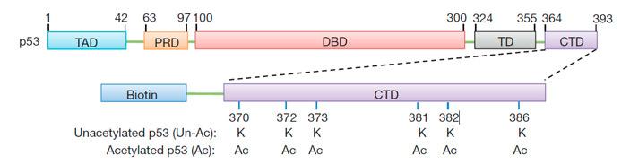 Рис. 2. Схема строения белка р53 и связанного с биотином С-концевого домена