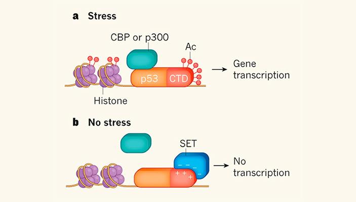 Рис. 3. Схема регуляции активности белка р53 через ацетилирование С-концевого домена