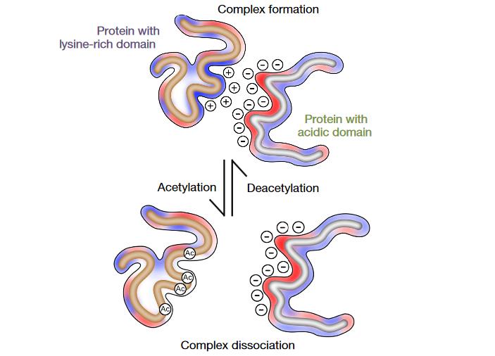 Рис. 4. Общая модель зависимой от ацетилирования регуляции активности белков с лизин-обогащенными доменами (слева) путем взаимодействия с «кислыми» доменами их белков-регуляторов