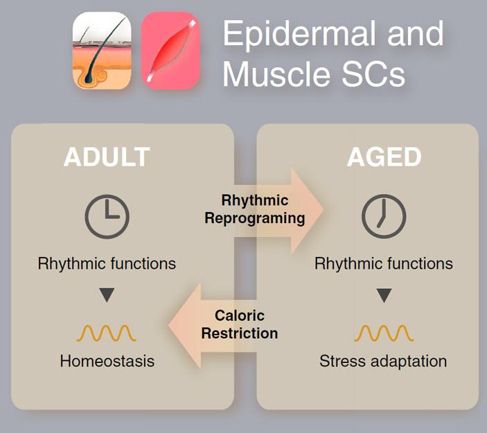 Возрастные изменения встволовых клетках кожи и мышц мыши