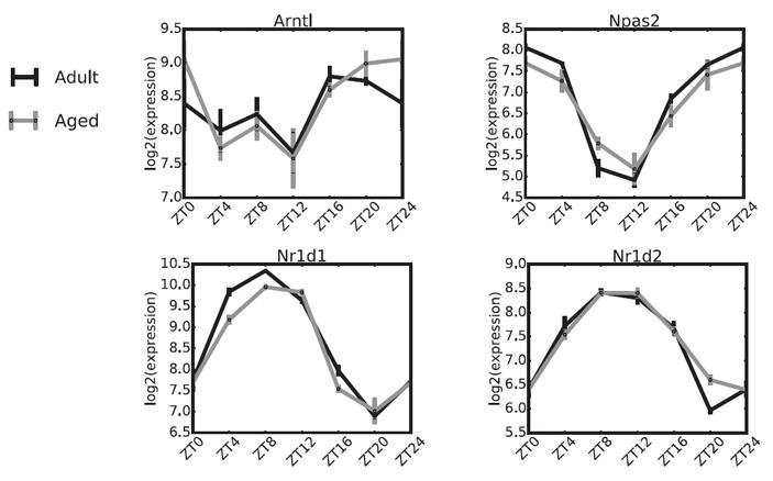 Рис. 3. Циклы экспрессии генов, контролирующих суточный ритм в ЭпСК
