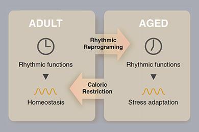 Возрастные изменения в стволовых клетках кожи и мышц мыши