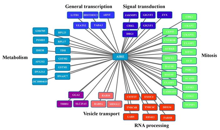 Рис. 2. Распределение белков-партнеров AIRE по функциональным группам