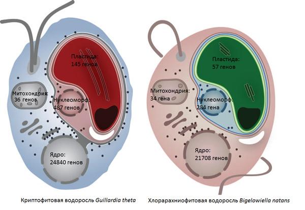 Схема строения двух изученных водорослей