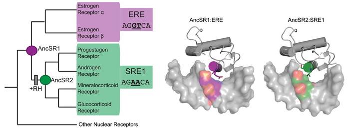 Эволюция стероидных рецепторов позвоночных