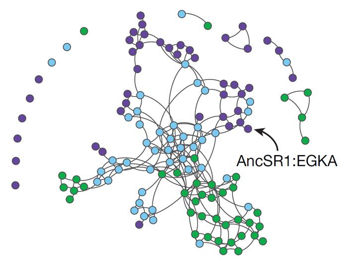 Рис. 3. Эволюционные возможности предкового стероидного рецептора до приобретения 11 разрешающих мутаций