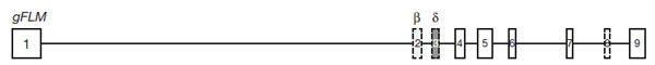 Схема строения гена FLM