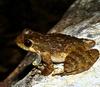 Самки лягушек-каскадниц предпочитают зашумленные крики самцов