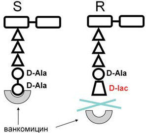 У штаммов энтерококков концевой дипептид меняет химическую структуру и перестает связываться в ванкомицином, формирую резистентные штаммы. Эта замена производится засчет специфического набора генов, выполняющих, насколько известно, только эту функцию. Схема из статьи: С.В.Сидоренко, В.И.Тишков. Молекулярные основы резистентности к антибиотикам// Успехи биологической химии. Т.44. С.263–306