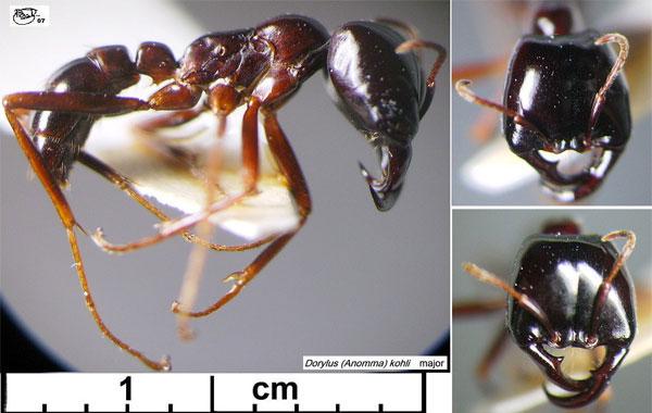 Рабочий муравей из подрода Anomma (Западная Африка). Уэтих муравьев часть рабочих особей обладают сильно увеличенными челюстями. Рабочие муравьи неспособны к размножению, поэтому такой признак не может быть результатом ламарковского «упражненности» упражнения органов. Естественный отбор, напротив, позволяет объяснить появление подобных признаков: если всемье муравьев врезультате наследственной изменчивости часть рабочих имеют увеличенные челюсти и если этот признак помогает семье выживать и успешно размножаться, такие семьи постепенно начнут преобладать впопуляциях этих муравьев, а размер челюстей урабочих вполне может постепенно увеличиваться. На этом изящном примере, приведенном в«Происхождении видов», Дарвин показал, что даже воснове признаков, не проявляющихся у способных к размножению особей, может лежать естественный !  отбор, вто время как врамках концепции Ламарка возникновение таких признаков необъяснимо. Фото с сайта antbase.org