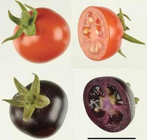 Рис.1. Фиолетовые помидоры Del/Ros1 отличаются повышенным содержанием антоцианов