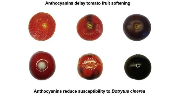 Рис.2. Антоцианы в фиолетовых помидорах предотвращают размягчение плодов врезультате перезревания и повышают устойчивость к серой гнили (Botrytis cinerea)