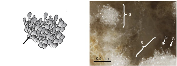 Стафилы с гонгилидиями