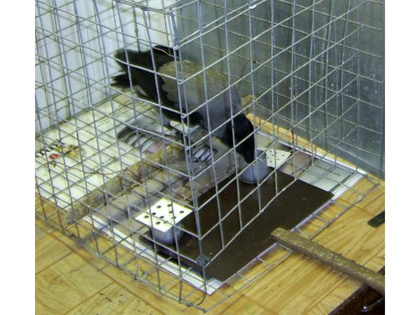 Ворона успешно пересчитывает точки в кормушках и выбирает нужную. Фото А.А.Смирновой, передано авторами обсуждаемой статьи в Behaviour