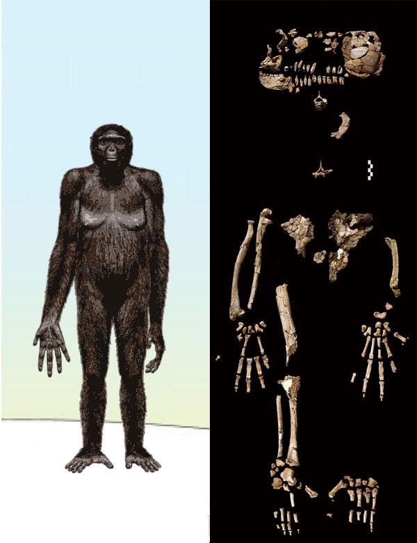 Примерно так, по мнению авторов спецвыпуска Science, могла выглядеть Арди, самка Ardipithecus ramidus. Вофициальных документах Арди значится как «скелет ARA-VP-6/500». Изображения из статьи White etal. Ardipithecus ramidus and the Paleobiology of Early Hominids