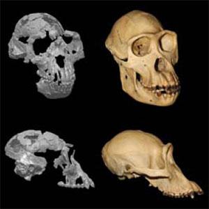 Череп ардипитека (слева) и шимпанзе. Изображение из статьи Suwa etal. Paleobiological Implications of the Ardipithecus ramidus Dentition