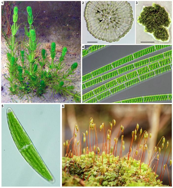 Сценарий происхождения высших растений во многом похож на сценарий происхождения животных