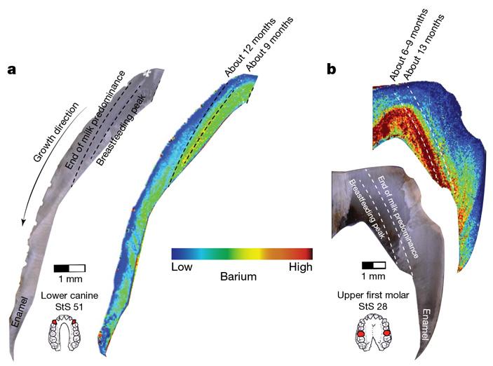 Состав зубной эмали австралопитеков говорит опищевом стрессе первых лет ихжизни