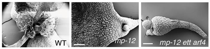 10-дневные проростки Arabidopsis