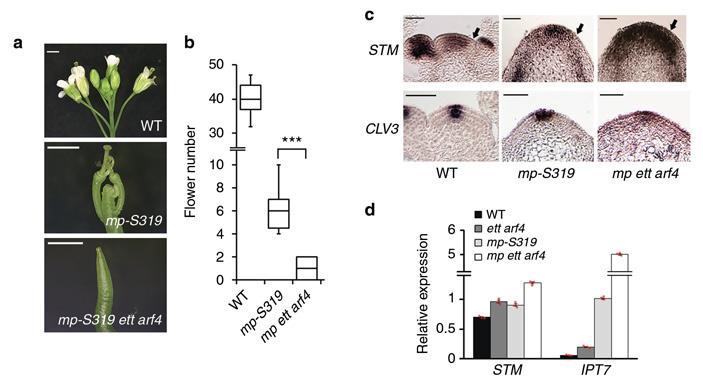 Рис. 2. Участие ферментов ETT и ARF4 в развитии репродуктивного примордия у резуховидки