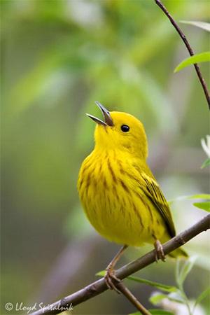 Желтая древесница (yellow warbler) распространена почти по всей Америке