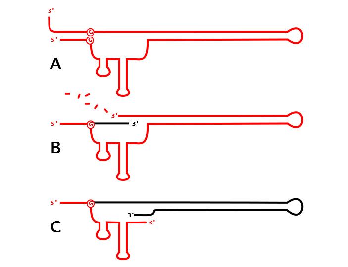 Синтез химерной РНК-ДНК молекулы (msДНК)