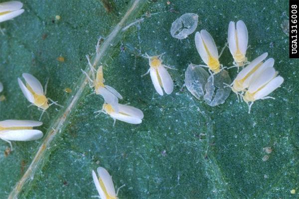 Белокрылка Bemisia tabaci— один из самых опасных сельскохозяйственных вредителей в тропических и теплоумеренных районах всего мира. Фото с сайта hightunnels.cfans.umn.edu