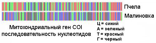 Расшифровка штрихкода (последовательности нуклеотидов) пчелы и малиновки (изображение с сайта www.barcoding.si.edu)