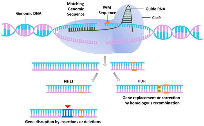 Рис. 1. Схема редактирования генома с помощью системы CRISPR/Cas9