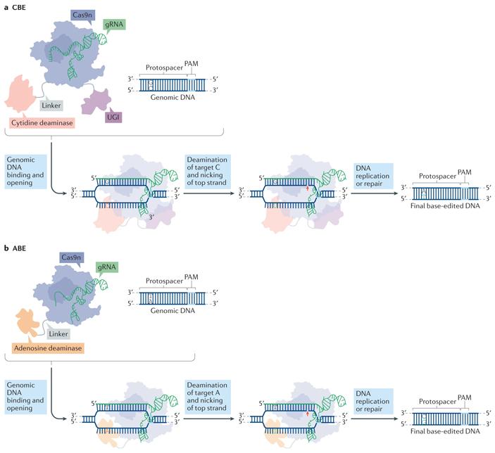 Рис. 2. Способы редактирования оснований ДНК
