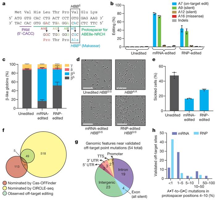 Рис. 3. Редактирование гемопоэтических клеток доноров с серповидноклеточной анемией