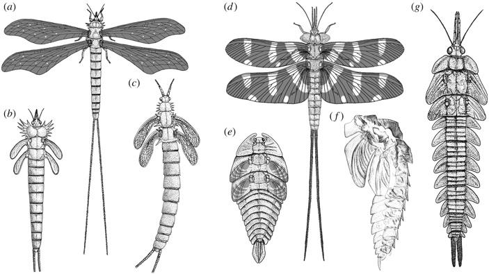 Развитие рогов и крыльев ужуков-навозников контролируется одними и теми же генами