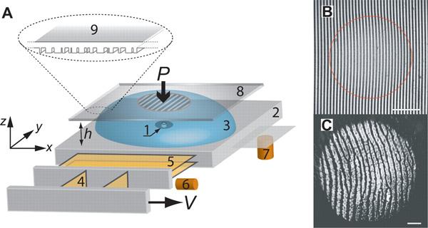 A— экспериментальная установка: 1— сенсор, 2— неподвижное основание (станина), 3— покрытие из резиноподобного материала толщиной не более 2мм, 4–5— система их двух кантилеверов, 6–7— емкостные позиционные сенсоры (capacitive position sensors) 8— стекло с нанесенными на него случайно расположенными штрихами(9). B— смоделированные отпечатки пальцев. C— человеческие отпечатки пальцев вместе контакта пальца и поверхности (длина масштабной линейки 2мм). Рис. из обсуждаемой статьи вScience