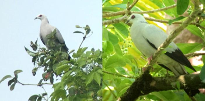 На труднодоступных тропических островах новые виды птиц исчезают раньше, чем их успевают открыть