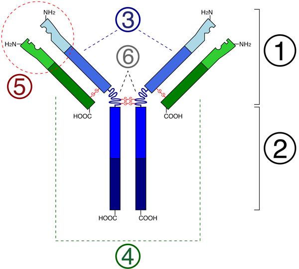 Рис. 2. Схема строения антитела