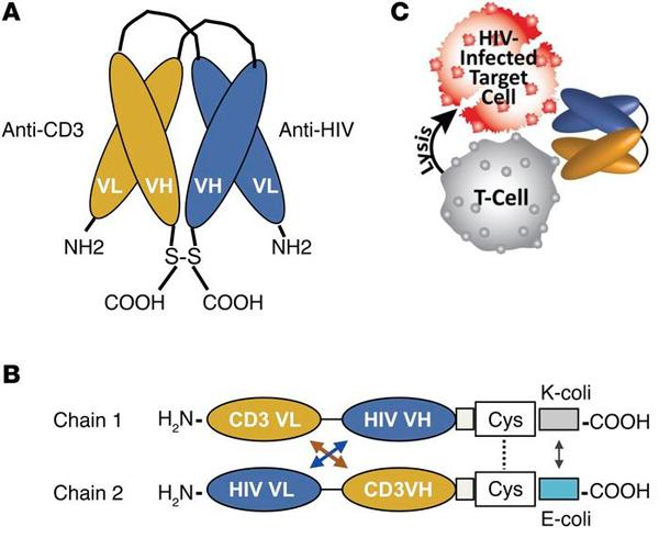 Рис. 6. Схема строения искусственно сконструированных биспецифических антител кантигену CD3 цитотоксических Т-клеток и поверхностнму антигену ВИЧ и атаки клеток, зараженных ВИЧ