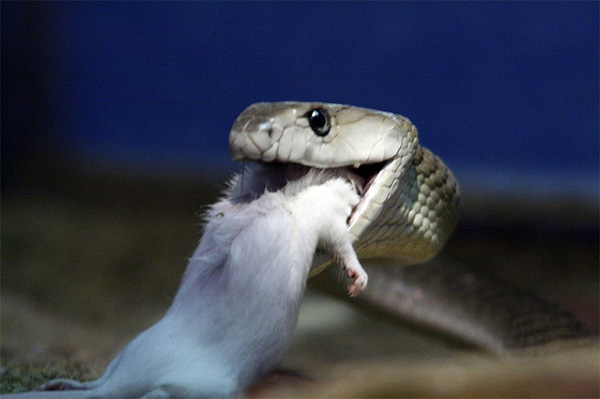 Когда черная мамба кусает мышь— свою излюбленную добычу,— то, по всей видимости, мышь не испытывает боли, так как яд этой змеи содержит сильный анальгетик