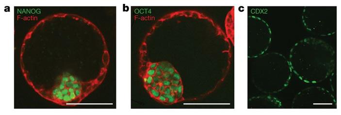 Искусственные эмбрионы, сконструированные из клеток двух типов