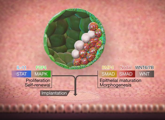 Рис. 5. Сигналы трофобласту от внутренней клеточной массы, приводящие к имплантации
