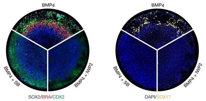 Рис. 6. Клеточные слои в гаструлоидах, образованных под действием белка ВМР4 и его ингибиторов