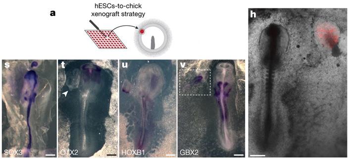 Рис. 7. Эксперимент с подсаживанием человеческого зародышевого организатора в эмбрион цыпленка