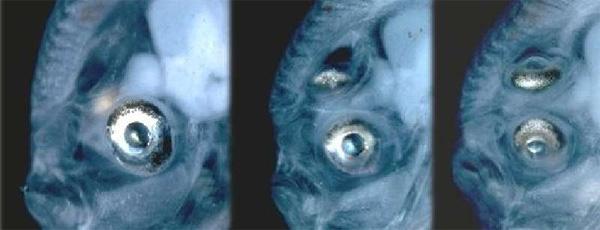 Смещение глаза входе индивидуального развития камбалы Bothus ocellatus. Слева: оба глаза еще находятся поразные стороны черепа. Вцентре: правый глаз переполз на «макушку». Справа: оба глаза налевой стороне. Изображение ссайта vertebrates.si.edu