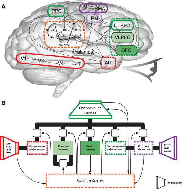 A — схема человеческого мозга,