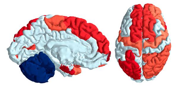Рис. 4. Красным цветом показаны области мозга, в которых модульная организация у мужчин выражена лучше, чем у женщин (выше число связей внутри модуля и ниже между модулями), а синим — мозжечок, где модульная организация у мужчин выражена гораздо слабее, чем у женщин. Измененный рисунок из обсуждаемой статьи в PNAS, там же можно уточнить методы статистических расчетов показателя связности модулей