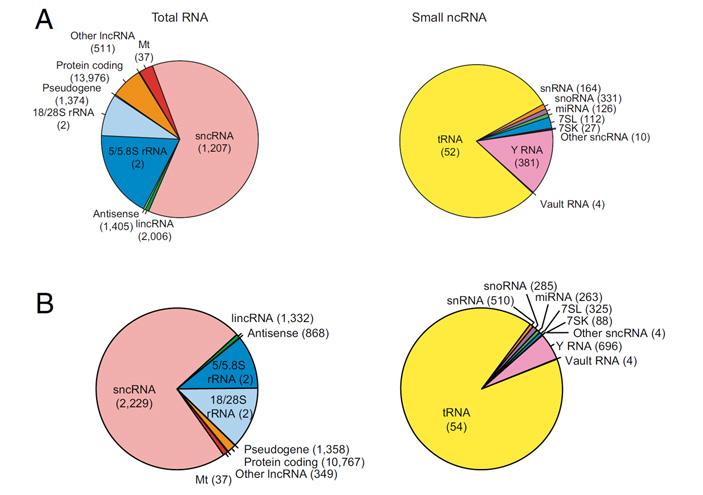 Рис. 2. Биотипы РНК, представленные во внеклеточных везикулах и CD63+ экзосомах