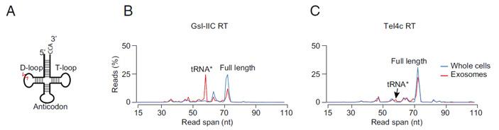 Рис. 3. Структура тРНК и распределение длин последовательностей тРНК после секвенирования