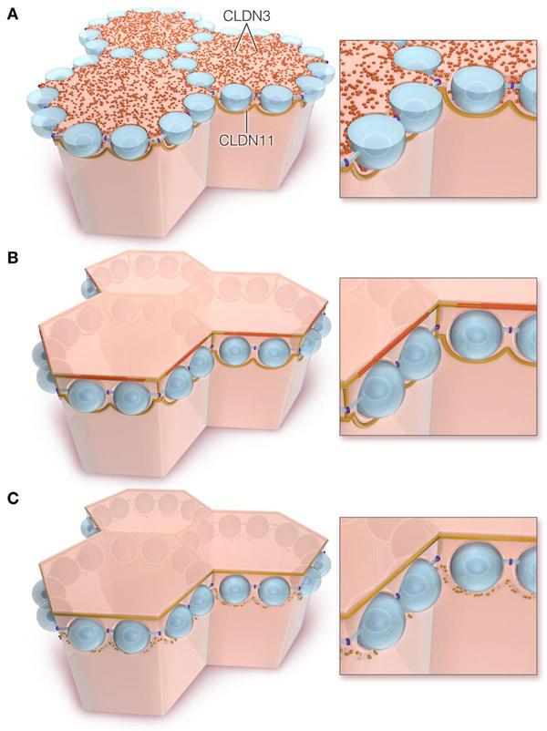 Клетки Сертоли фото