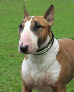 Питбультерьер порода собак, которая произошла при скрещивании бульдога и терьера, сильная, энергичная...