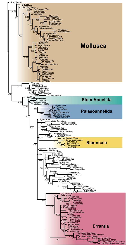 Раннекембрийский кольчатый червь примирил палеонтологическую летопись смолекулярной филогенетикой